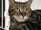 猫 アメリカンショートヘアー